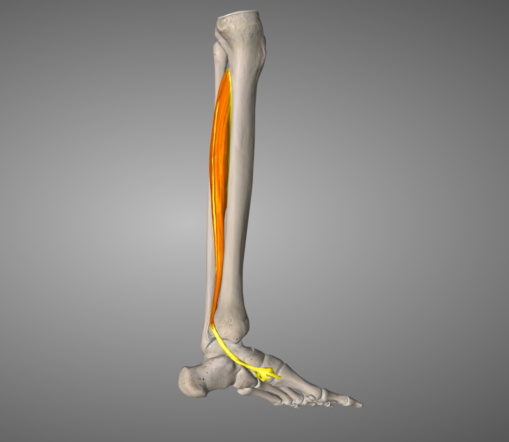 Tib Post: Your natural inbuilt orthotic muscle.