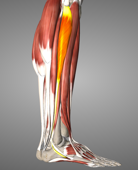 Peroneus Longus, one of three peroneal muscles