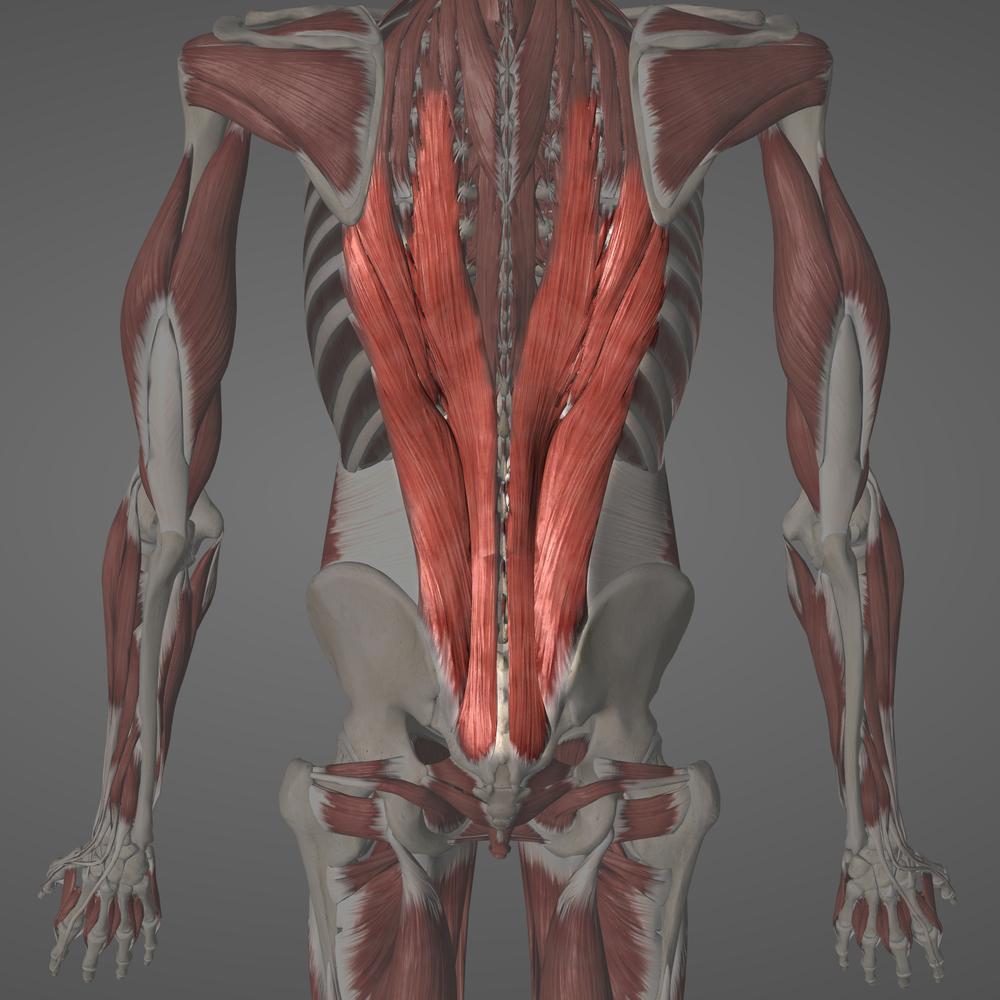 Erector Spinae