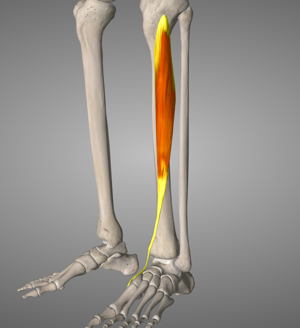 Tibialis Anterior, a tiny muscle designed to create dorsiflexion