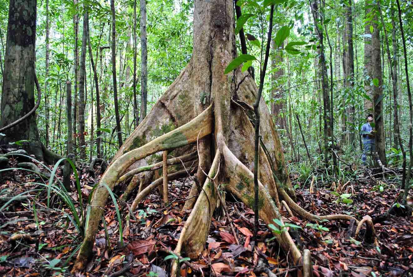 Peat swamp forest in Brunei Darussalam
