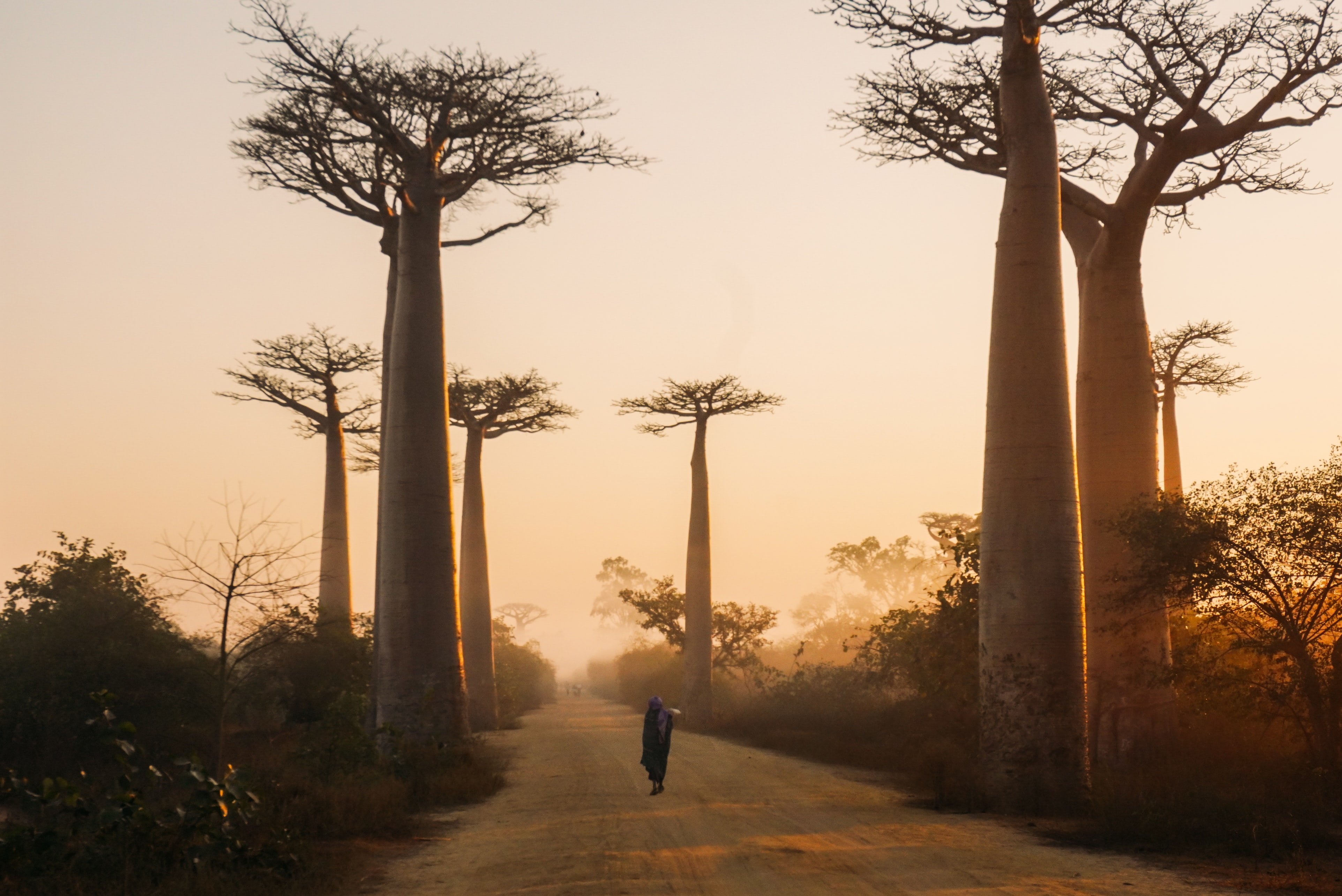avenue of the baobabs, Madagascar during the day