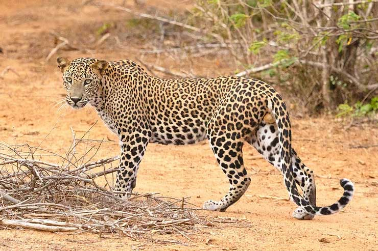 Leopard in the wild on a hunt