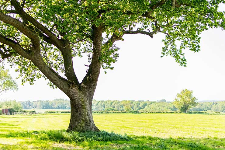 Big tree in a luscious green field behind
