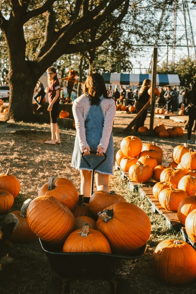 Young girl pulling wheelbarrow with Thanksgiving pumpkins