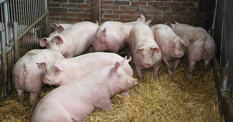 Hof von Moellmann Schweine