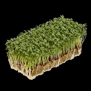 Bio Gartenkresse