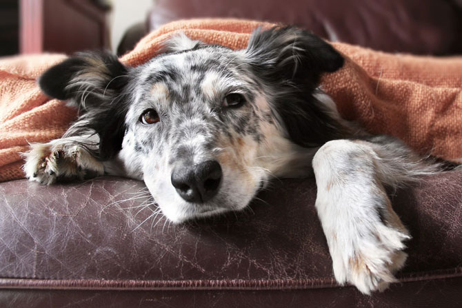Statutory sick pay, sickness, and fit notes. Image of a sick dog under a blanket | Crunch