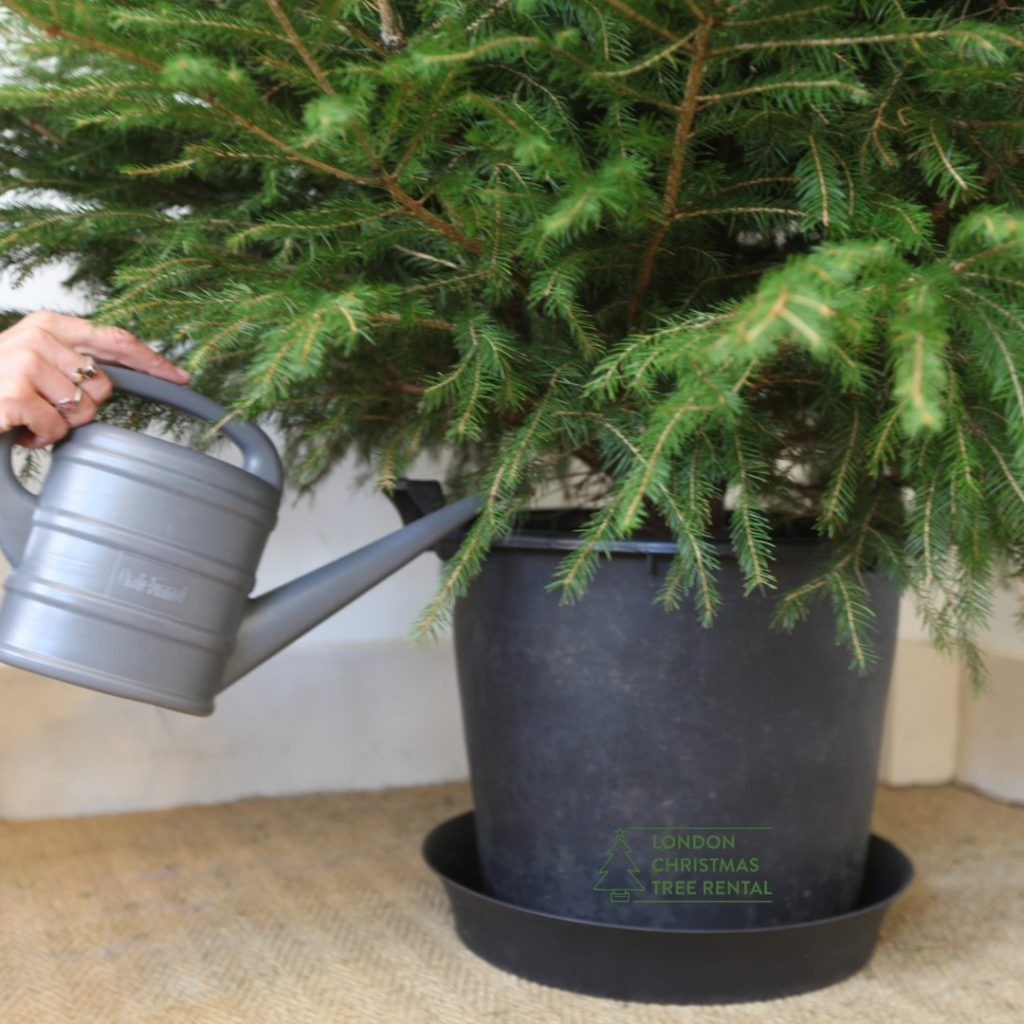 London Christmas Tree Rental for a sustainable Christmas