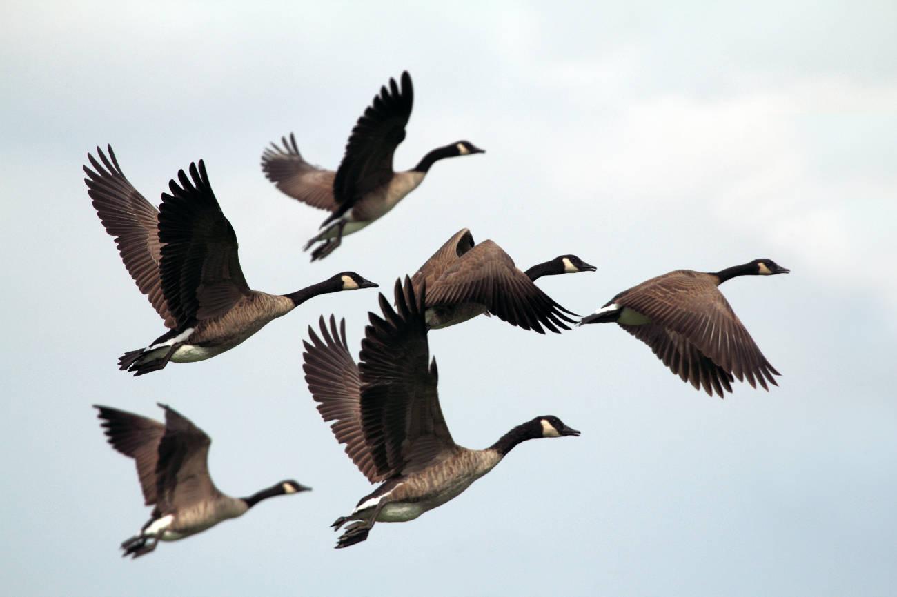 Skallingen - home for migratory birds