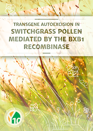 Transgene autoexcision in switchgrass pollen mediated by the Bxb1 recombinase