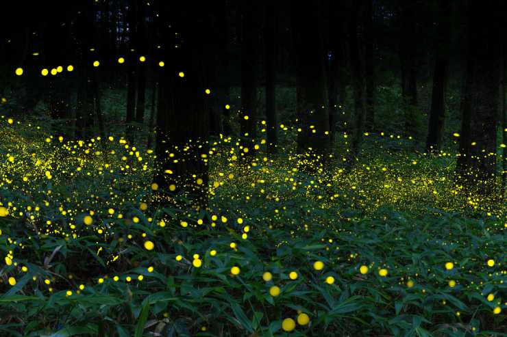 many fireflies light up the forrest at night
