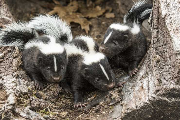 three baby skunks sit together in he hollow of a tree