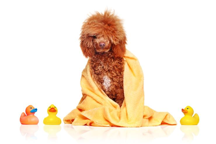 a goldendoodle with fluffy hair on its head sits wrapped in a yellow towel with rubber duckies around