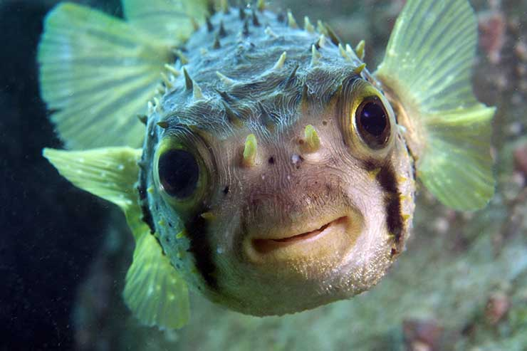 The porcupine fish uses a nightmarish disguise and swells with water, which frightens enemies as large as tiger sharks.