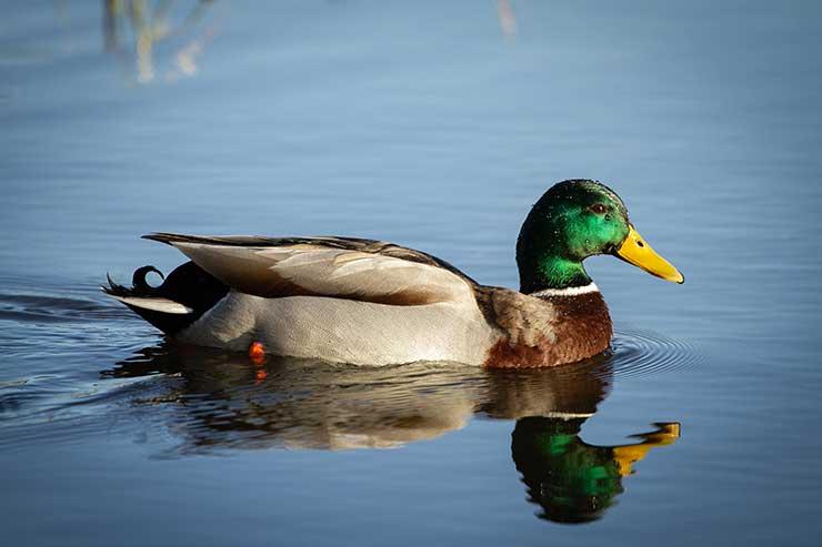 A wild mallard duck swimming