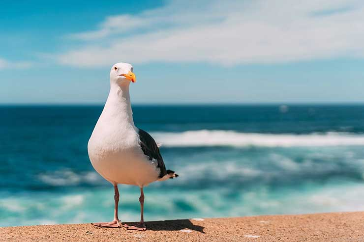 Seagull on the beach, with the ocean waves behind them