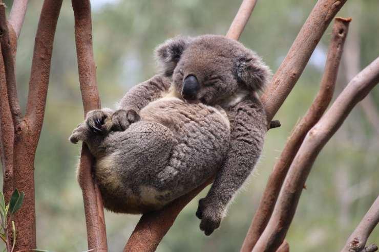 a koala bear sits sleeping in a tree