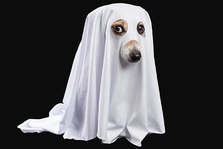 Dog with sheet over body and eyes and nose cutout to be a ghost dog for halloween
