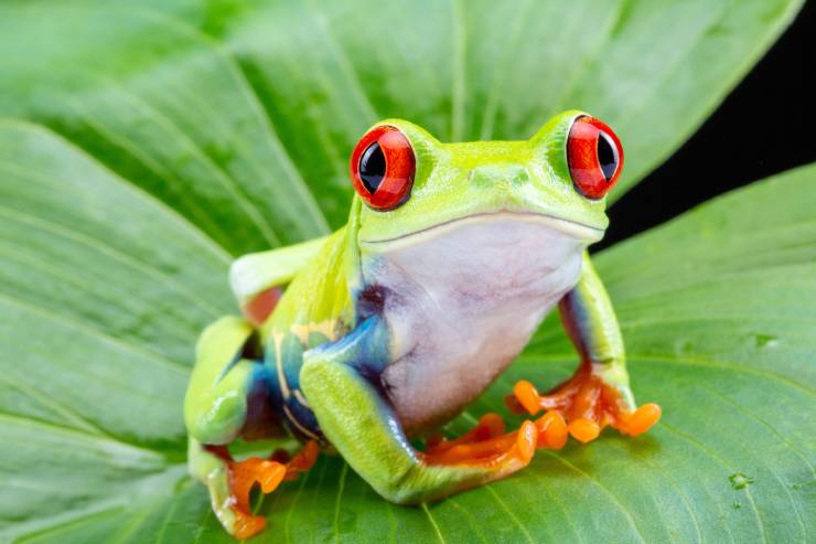 a bright green tree frog perched on a large green leaf