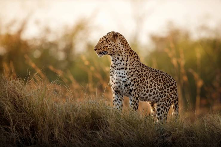 a leopard stands in the grasslands