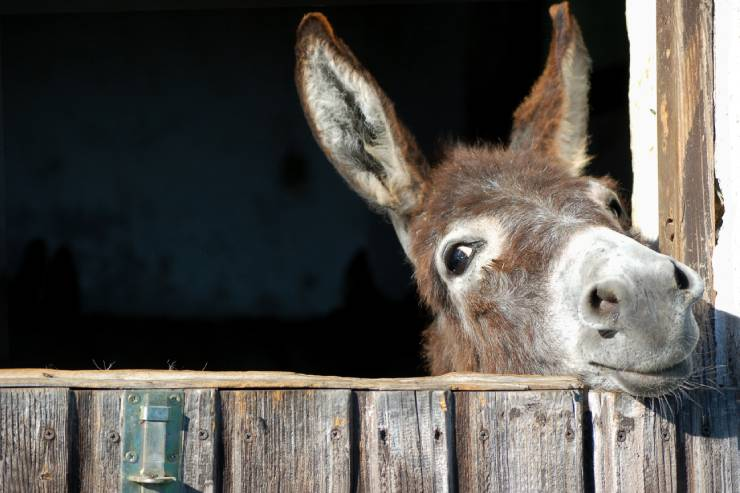 Donkey with big ears pokes head out of barn