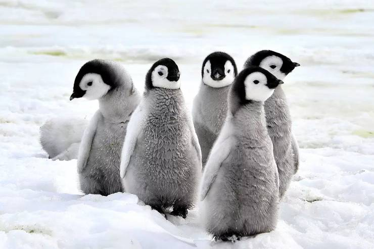 five baby penguins huddle together in the snow