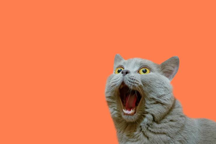 a gray cat meowing