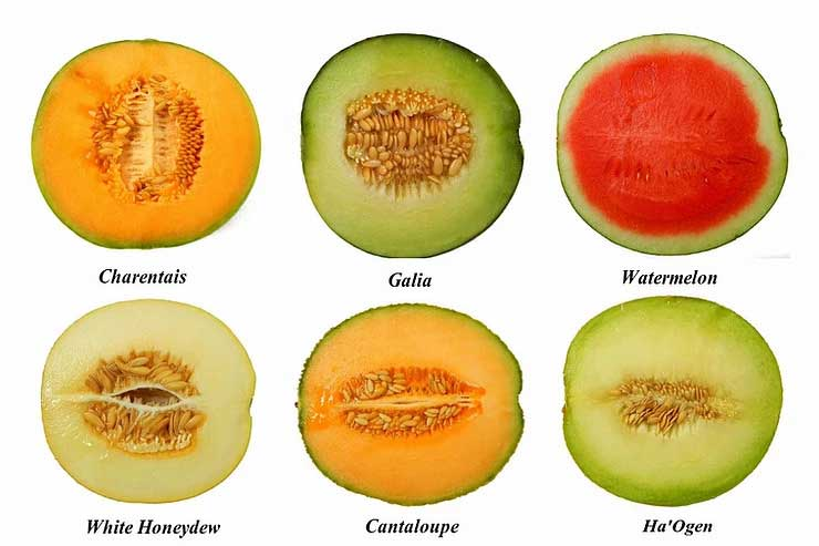 Collection of different melons. Charentals, galia, watermelon, white honeydew, cantaloupe, ha'ogen
