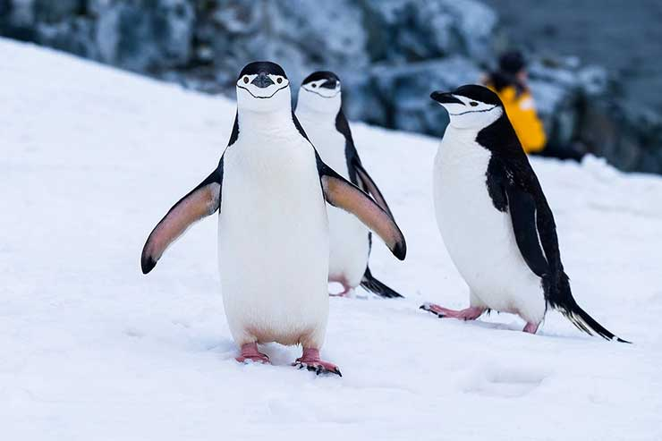 Chinstrap penguin is a species of penguin that inhabits a variety of islands and shores in the Southern Pacific and the Antarctic Oceans.