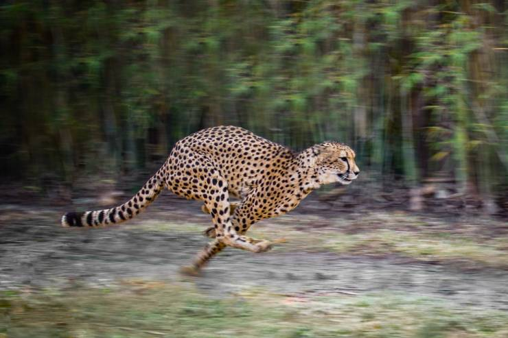 cheetah sprinting in forest