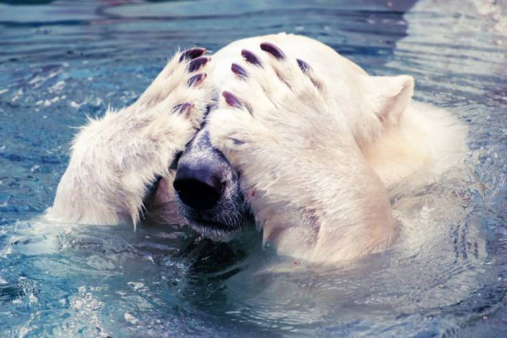 a polar bear is swimming in the water while covering its eyes with its paws