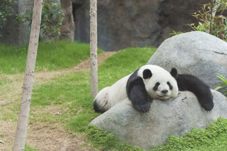 a large panda bear lays across a boulder in the grass