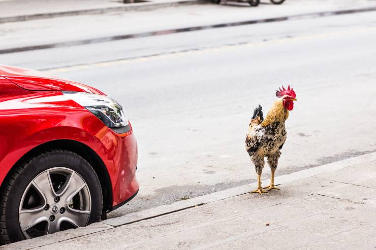 a rooster stands on a curb by the front of a red car