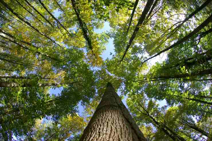 a view from the ground looking up through very tall, green trees with the sun and blue sky peeking through