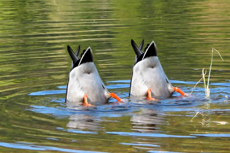 two ducks with their tails in the air and heads underwater