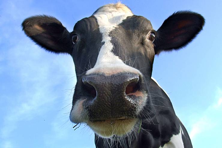 a close-up of a black and white cow