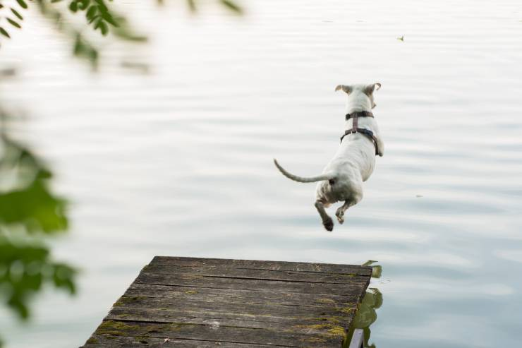 a small white dog jumps off a dock into water