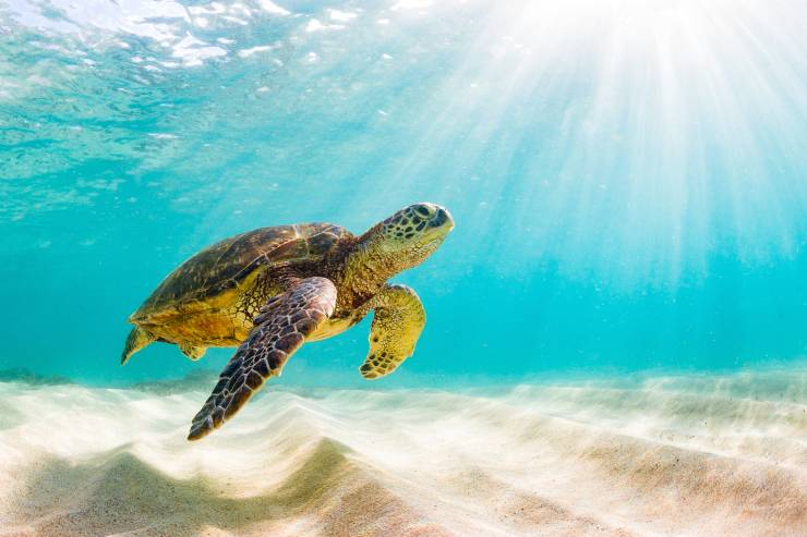 a sea turtle swimming near the bottom of a white sandy ocean and clear turquoise waters