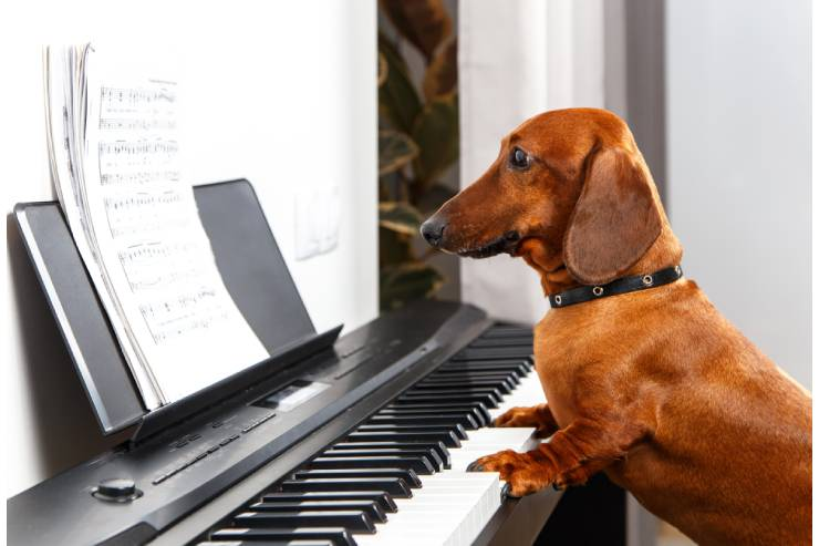 A Brown Dachschund Dog with a Black Collar Playing the Piano.