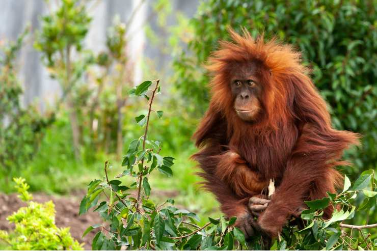 Orangutan sitting down surrounded by trees and leaves.