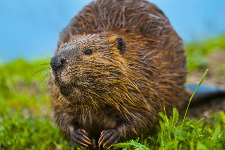 A wet beaver sitting in green grass with water in the background.