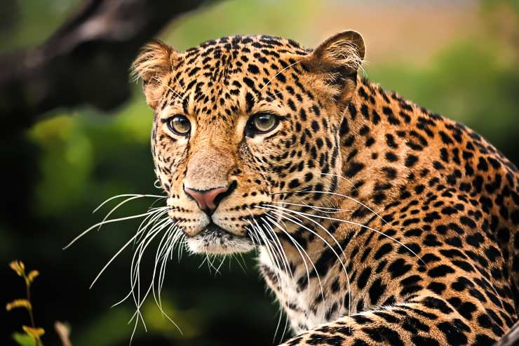 Up close view of a leopard  looking into the camera with greenery in the background.