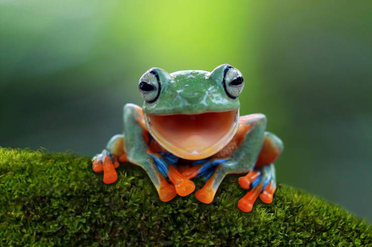 A frog with an open mouth and blue and red accent colors, perched on greenery.