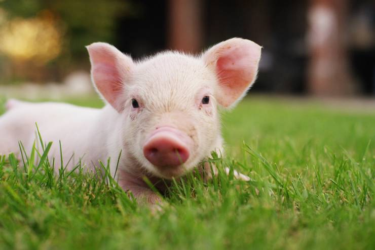A pink piglet laying on its belly in the green grass.