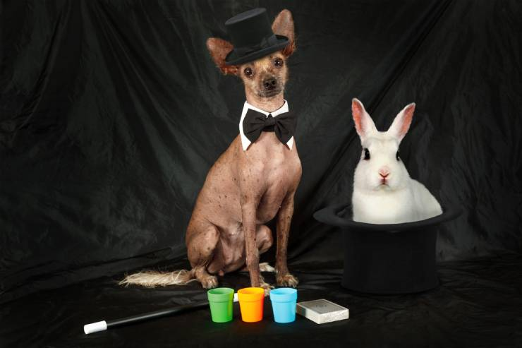 A small dog in a top-hat and bow tie with a rabbit in a hat and some gear for magic tricks.
