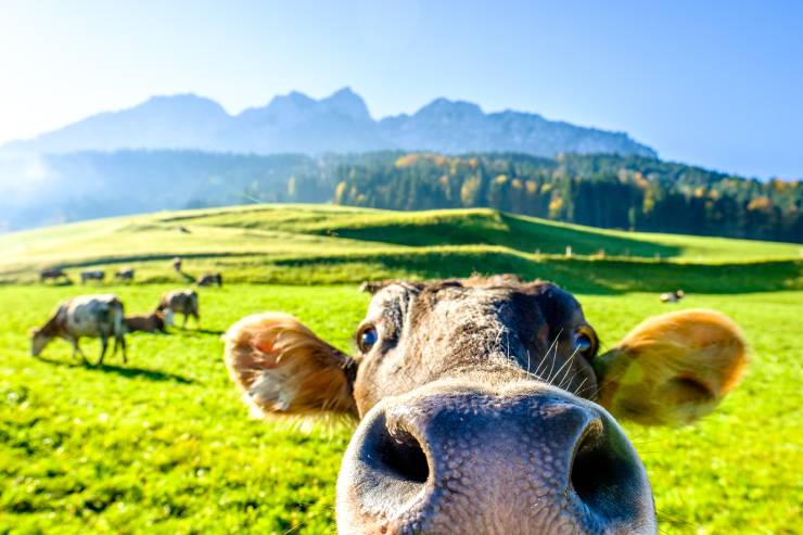 Zoomed in view of a cow from the nose up, with more cows and mountain scenery in the background.