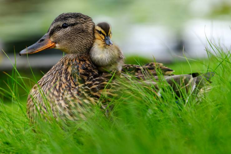 a duckling sits on top of the mother duck's back in the grass