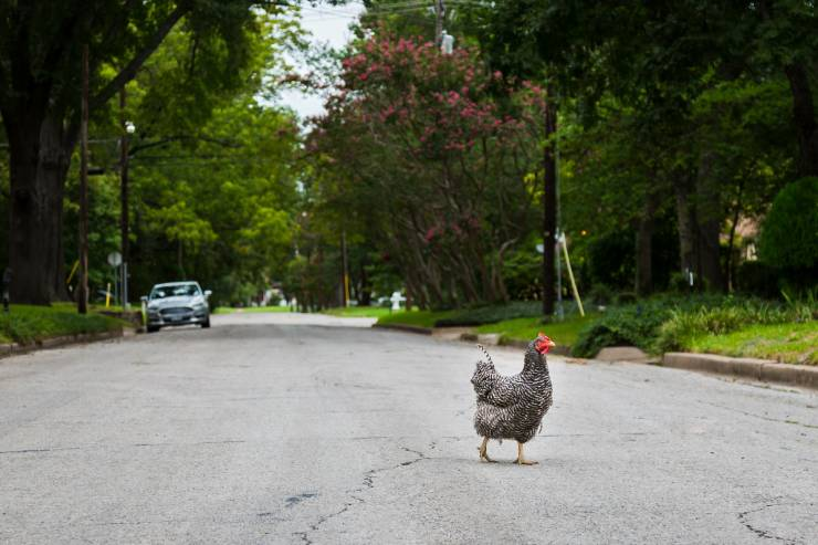 a chicken crosses a road in a wooded area