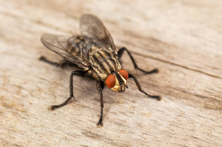 a close-up of a fly with red eyes on a wooden surface